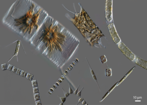 Diatom collage