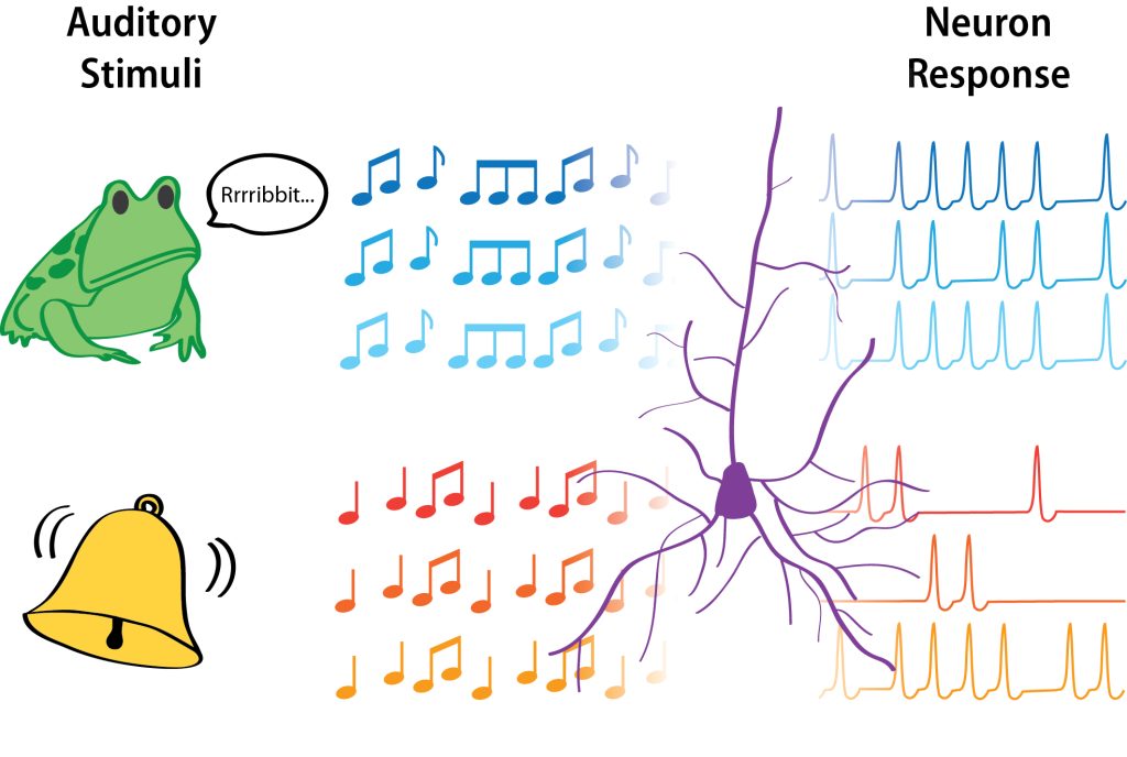 """Claude E. Shannon introduced information theory in 1948 to describe the transmission of information across communication channels. His theory fundamentally links information with uncertainty. His theory can also be used by neuroscientists to ask how much information is """"encoded"""" in the response of neurons. In one example experiment illustrated here, researchers recorded from neurons in a bullfrog. They found that the information encoded by the frog's neurons depended on the type of auditory stimulus. For three repetitions of the same """"natural"""" stimulus--a frog's vocalizations--the neurons fired similarly (blue). For three repetitions of a more artificial tone, however, the neuron fired with highly variable patterns (orange). The high variability in neuron responses to tones gives very little information about the stimulus. Thus, the encoding of information was higher for natural stimuli."""