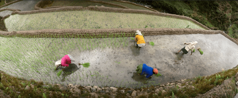A Bird's eye view of 3 women wearing pink yellow and a blue sweater res[ectively, bent over and farming on a paddy field