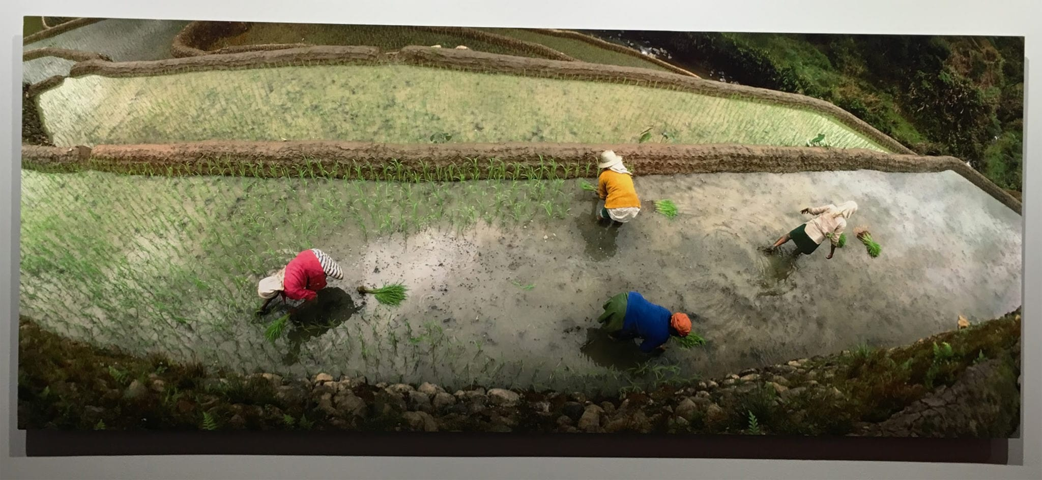 overhead photo of farmers in a rice patty