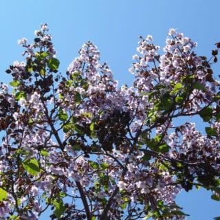 Las flores de Paulovnia en la ceniza del sueño