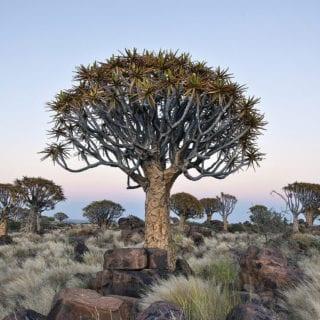 Árbol típico de Guinea Ecuatorial