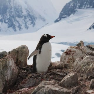 Pingüino sobre unas rocas. Al fndo, nieve