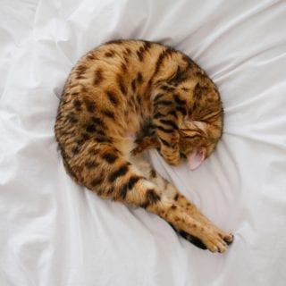Gato enroscado en la cama