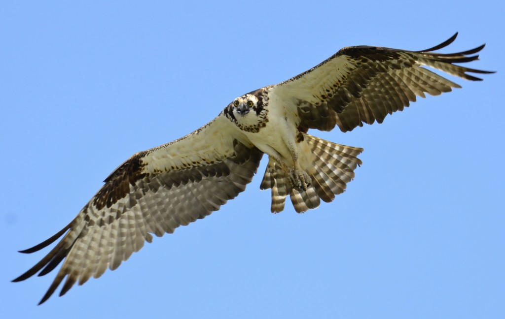 """Osprey in flight over Lake Wylie"" by Gareth Rasberry - Own work. Licensed under CC BY-SA 3.0 via Commons."